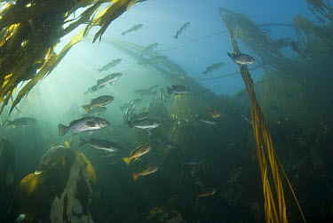 Blue Rockfish (Sebastes mystinus) school under Bull Kelp (Nereocystis luetkeana), Vancouver Island, British Columbia, Canada  -  Norbert Wu
