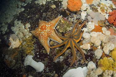 Frilled Sea Anemone (Metridium senile) group, Leather Star (Dermasterias imbricata) and Orange Sun Star (Solaster stimpsoni), Vancouver Island, British Columbia, Canada  -  Norbert Wu