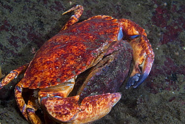 Red Rock Crab (Cancer productus) pair mating with the female holding the male, Vancouver Island, British Columbia, Canada  -  Norbert Wu