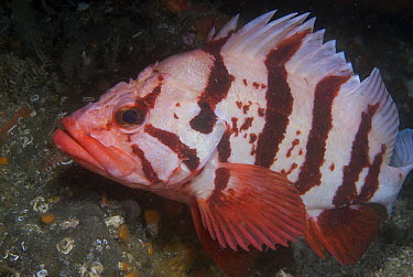 Tiger Rockfish (Sebastes nigrocinctus), Vancouver Island, British Columbia, Canada  -  Norbert Wu
