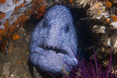 Wolf Eel (Anarrhichthys ocellatus) in crevice, Vancouver Island, British Columbia, Canada  -  Norbert Wu
