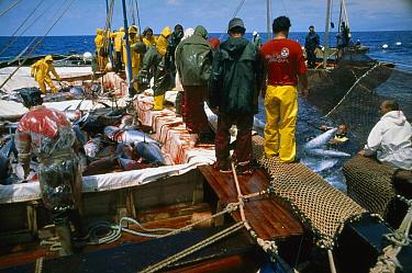 Atlantic Bluefin Tuna (Thunnus thynnus) pulled out of net with hook, Sardinia, Italy  -  Norbert Wu