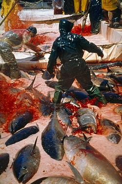 Atlantic Bluefin Tuna (Thunnus thynnus) getting blood vessels cut to kill them, Sardinia, Italy  -  Norbert Wu