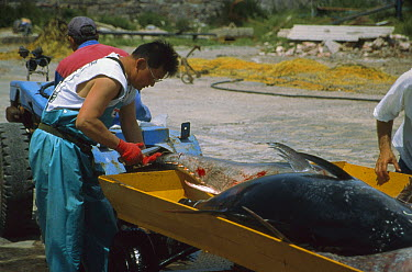 Atlantic Bluefin Tuna (Thunnus thynnus) inspected by japanese buyer, Sardinia, Italy  -  Norbert Wu