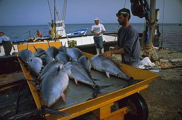 Atlantic Bluefin Tuna (Thunnus thynnus) catch on cart, Sardinia, Italy  -  Norbert Wu