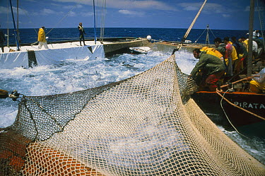 Atlantic Bluefin Tuna (Thunnus thynnus) mattanza, which is the annual harvesting of tuna in Sardinia, here fish are whipped into a frenzy as a net draws them together, Sardinia, Italy  -  Norbert Wu