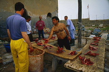 Atlantic Bluefin Tuna (Thunnus thynnus) pieces divided up among the fishermen after the harvest, Sardinia, Italy  -  Norbert Wu