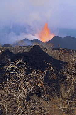 Volcanic eruption, new splatter cones on vegetated crater with lava fountain from radial fissure, February 1995, Fernandina Island, Galapagos Islands, Ecuador  -  Tui De Roy