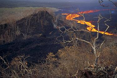 Lava flowing around previously vegetated shield volcano flank scalding trees, February 1995, Fernandina Island, Galapagos Islands, Ecuador  -  Tui De Roy