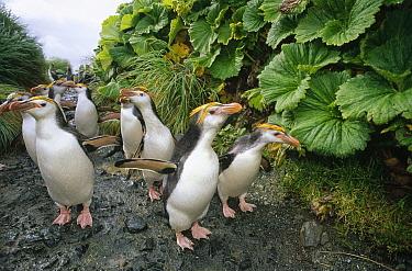 Royal Penguin (Eudyptes schlegeli) group walking to colony past Macquarie Island Cabbage (Stilbocarpa polaris) both endemic to Macquarie Island, Australia  -  Tui De Roy