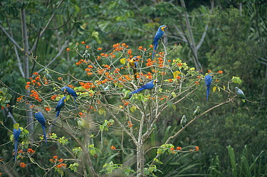 Blue and Yellow Macaw (Ara ararauna) mixed flock sharing Erythrina tree with Mealy Parrot (Amazona farinosa) flock, Tambopata-Candamo Reserved Zone, Amazon basin, Peru  -  Tui De Roy