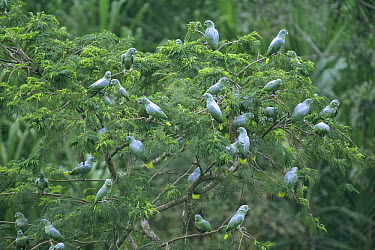 Mealy Parrot (Amazona farinosa) group in rainforest canopy, Tambopata-Candamo Reserve, Amazon Basin, Peru  -  Tui De Roy