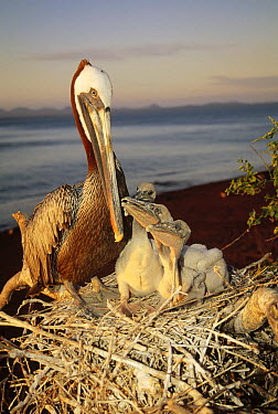 Brown Pelican (Pelecanus occidentalis) parent guarding nestlings in salt bush thickets, Rabida Island, Galapagos Islands, Ecuador  -  Tui De Roy