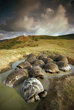 Galapagos Giant Tortoise (Chelonoidis nigra) group wallowing in seasonal pool on caldera rim, Alcedo Volcano, Isabella Island, Galapagos Islands, Ecuador  -  Tui De Roy