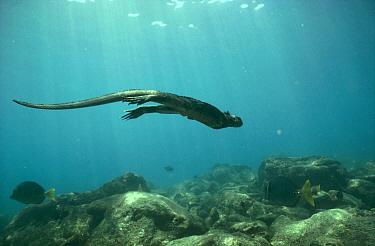 Marine Iguana (Amblyrhynchus cristatus) diving to graze on algae, Cape Douglas, Fernandina Island, Galapagos Islands, Ecuador  -  Tui De Roy