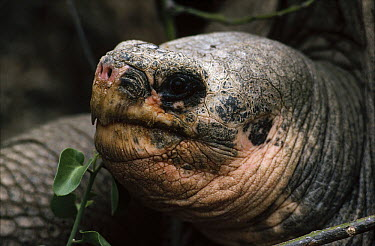 Pinta Island Galapagos Tortoise (Chelonoidis abingdoni), Lonesome George, the last survivor of his race, Darwin Reserve Station, Santa Cruz Island, Galapagos Islands, Ecuador  -  Tui De Roy