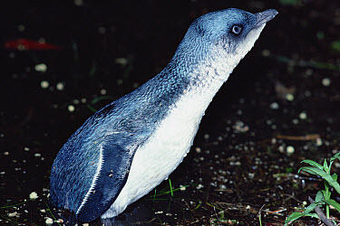 Little Blue Penguin (Eudyptula minor) hauling out at night to nest in deep forest, Golden Bay, New Zealand  -  Tui De Roy