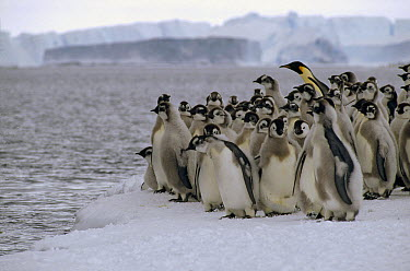 Emperor Penguin (Aptenodytes forsteri) fledgling chicks go to sea with a single adult, Cape Darnley, Davis Sea, Antarctica  -  Tui De Roy