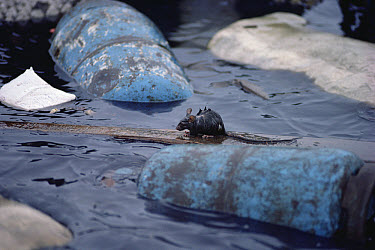 Black Rat (Rattus rattus) escaping from sinking ship Marine Iguana, Academy Bay, Santa Cruz Island, Galapagos Islands, Ecuador  -  Tui De Roy