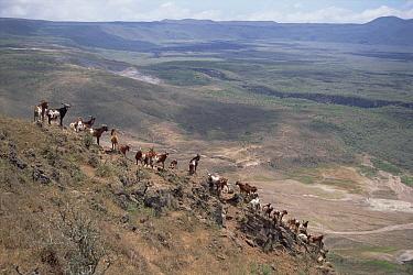 Feral Goat (Capra hircus) herd, new invasion causing rapid desertification of last Galapagos Tortoise stronghold, Alcedo Volcano, Isabella Island, Galapagos Islands, Ecuador  -  Tui De Roy