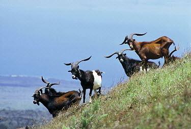 Feral Goat (Capra hircus) herd in unnatural grasslands formerly covered by dense forest, Santiago Island, Galapagos Islands, Ecuador  -  Tui De Roy