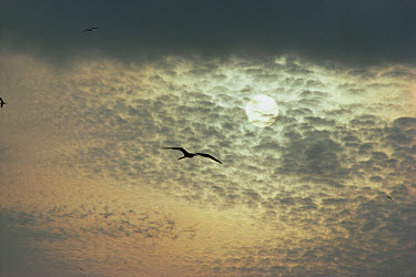 Magnificent Frigatebird (Fregata magnificens) soaring high to scan the horizon for scavenging opportunities, Isabella Island, Galapagos Islands, Ecuador  -  Tui De Roy