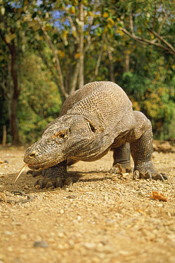 Komodo Dragon (Varanus komodoensis) large male walking towards camera, Komodo National Park, Komodo Island, Indonesia  -  Tui De Roy
