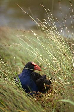 Pukeko (Porphyrio porphyrio melanotus) nesting in Marsh, Golden Bay, South Island, New Zealand  -  Tui De Roy
