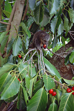 Bear Cuscus (Ailurops ursinus) an endemic marsupial feeding on False Banyon (Ficus altissima) rehabilitated orphan, Tangkoko-Dua Saudara Nature Reserve, Sulawesi, Indonesia  -  Tui De Roy