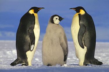 Emperor Penguin (Aptenodytes forsteri) pair with chick, near Ekstrom Ice Shelf, Princess Martha Coast, Weddell Sea, Antarctica  -  Tui De Roy