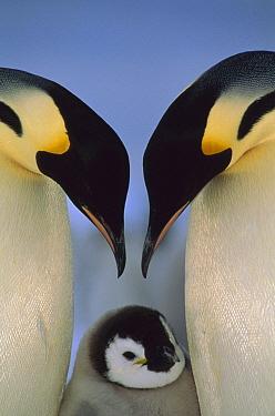 Emperor Penguin (Aptenodytes forsteri) parents greeting chick, Atka Bay, Princess Martha Coast, Weddell Sea, Antarctica  -  Tui De Roy