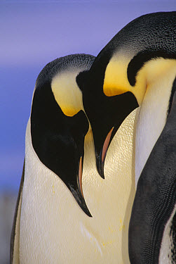 Emperor Penguin (Aptenodytes forsteri) courting pair, Atka Bay, Princess Martha Bay, Weddell Sea, Antarctica  -  Tui De Roy