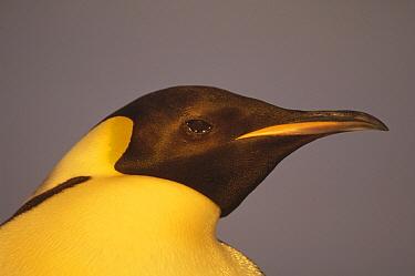 Emperor Penguin (Aptenodytes forsteri) portrait, Atka Bay, Princess Martha Coast, Weddell Sea, Antarctica  -  Tui De Roy