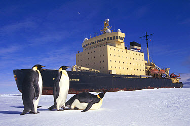 Emperor Penguin (Aptenodytes forsteri) trio observing Russian icebreaker parked in fast ice, Princess Martha Coast, Weddell Sea, Antarctica  -  Tui De Roy
