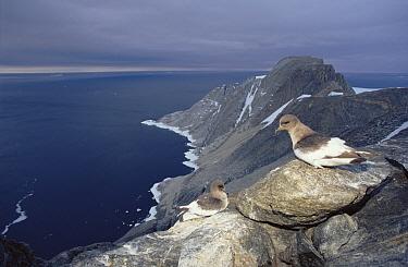 Antarctic Petrel (Thalassoica antarctica) overlooking cliff-side nesting colony with 157,000 pairs, Scullin Monolith, Mawson Coast, east Antarctica  -  Tui De Roy