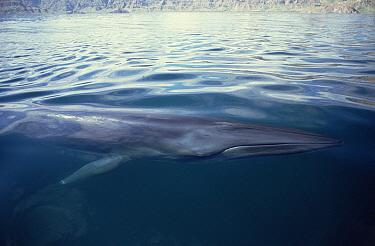 Bryde's Whale (Balaenoptera edeni) resident adult surfacing in feeding grounds, Sea of Cortez, Baja California, Mexico  -  Tui De Roy