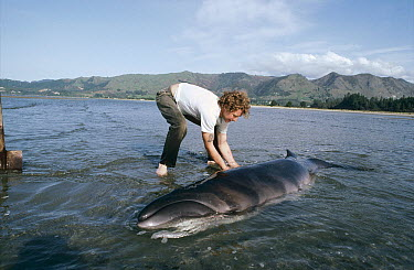 Pygmy Right Whale (Caperea marginata) stranded whales rescued by local volunteers, Golden Bay, New Zealand  -  Tui De Roy