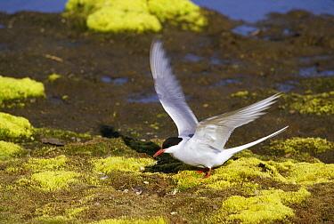 Arctic Tern (Sterna paradisaea) nesting in tundra bog, Ny-Alesund, Spitsbergen, Svalbard, Norwegian Arctic  -  Tui De Roy
