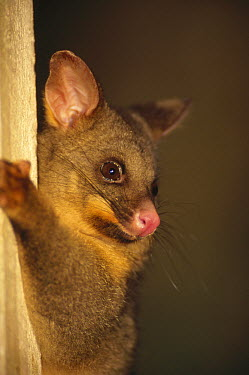 Common Brush-tailed Possum (Trichosurus vulpecula) introduced for fur is now top pest which damages forests and kills birds, Golden Bay, New Zealand  -  Tui De Roy