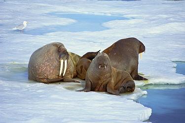 Atlantic Walrus (Odobenus rosmarus rosmarus) bachelor bulls on ice floe, North Coast Spitsbergen, Svalbard, Norwegian Arctic  -  Tui De Roy