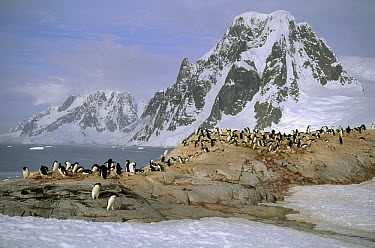 Adelie Penguin (Pygoscelis adeliae) nesting colony on granite outcrop, Petermann Island, Antarctica  -  Tui De Roy