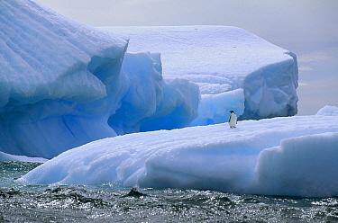 Adelie Penguin (Pygoscelis adeliae) on iceberg, Paulet Island, Weddell Sea, Antarctica  -  Tui De Roy