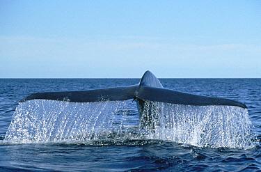 Blue Whale (Balaenoptera musculus) tail, Sea of Cortez, Baja California, Mexico  -  Mark Jones