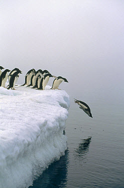 Adelie Penguin (Pygoscelis adeliae) group gathers for mass exodus for safety against Leopard Seals, Ross Sea, Antarctica  -  Mark Jones
