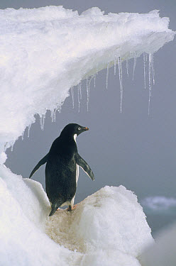 Adelie Penguin (Pygoscelis adeliae) adult, Ross Sea, Antarctica  -  Mark Jones