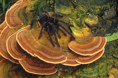 Tarantula (Theraphosidae) large female wandering over bracket fungus, Tangkoko-Dua Saudara Nature Reserve, North Sulawesi, Indonesia  -  Mark Jones