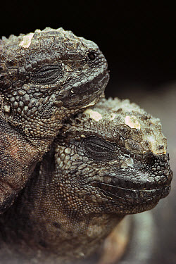 Marine Iguana (Amblyrhynchus cristatus) pair resting after morning feeding, vulnerable, Punta Suarez, Hood Island, Galapagos Islands, Ecuador  -  Mark Jones