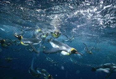 King Penguin (Aptenodytes patagonicus) group swimming underwater offshore from breeding colony, Macquarie Island, sub-Antarctica Australia  -  Tui De Roy
