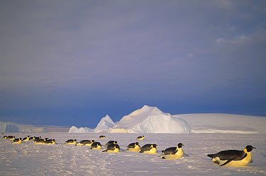 Emperor Penguin (Aptenodytes forsteri) group tobogganing across vast distance of fast ice to nesting rookery, Kloa Point, Edward VIII Gulf, Antarctica  -  Tui De Roy