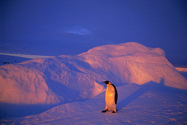 Emperor Penguin (Aptenodytes forsteri) returning across vast distance of fast ice to nesting rookery, Edward VIII Gulf, Antarctica  -  Tui De Roy